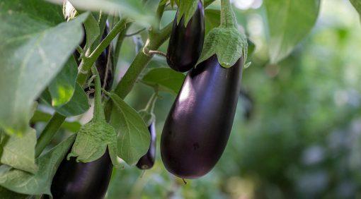 Jak prowadzić uprawę bakłażana