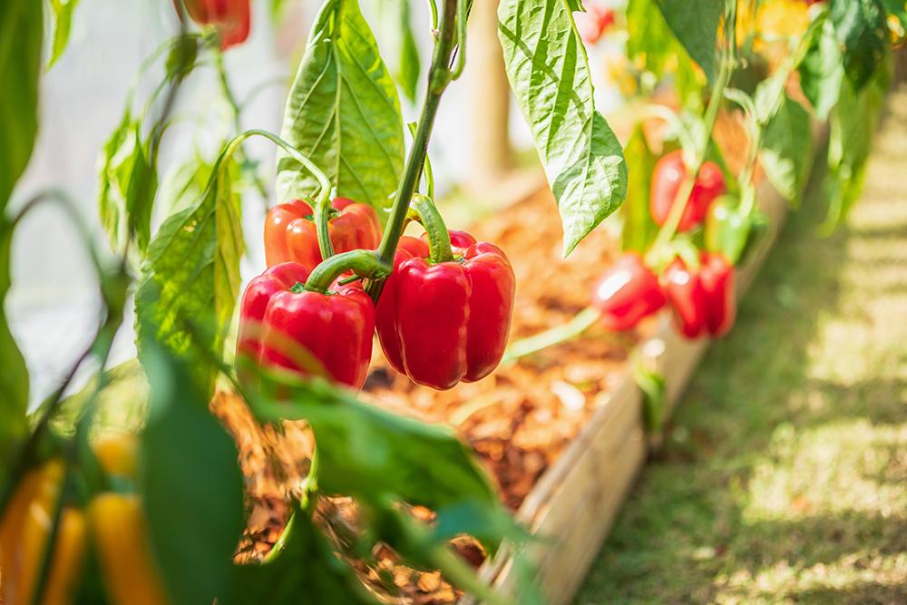 Najlepsze metody uprawy papryki